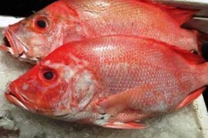 Jual Ikan Laut Segar Jogja Harga Murah