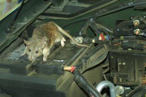 Pengusir Tikus di Mesin Mobil Paling Aman, Mudah dan Efektif